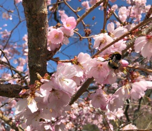 Eine Hummel bestäubt die Blüten eines Mandelbaums in Rempesgrün.