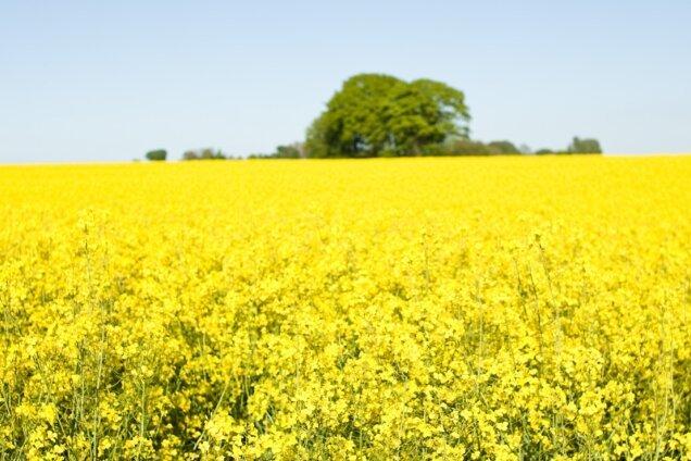 Im Herbst 2019 haben die landwirtschaftlichen Betriebe in Deutschland auf 952.700 Hektar Ackerland Winterraps für die Ernte 2020 ausgesät. Wie das Statistische Bundesamt mitteilte, liegt die Aussaatfläche von Winterraps für die kommende Ernte damit um 100.800 Hektar oder 12 Prozent über den Anbauflächen von 2019.