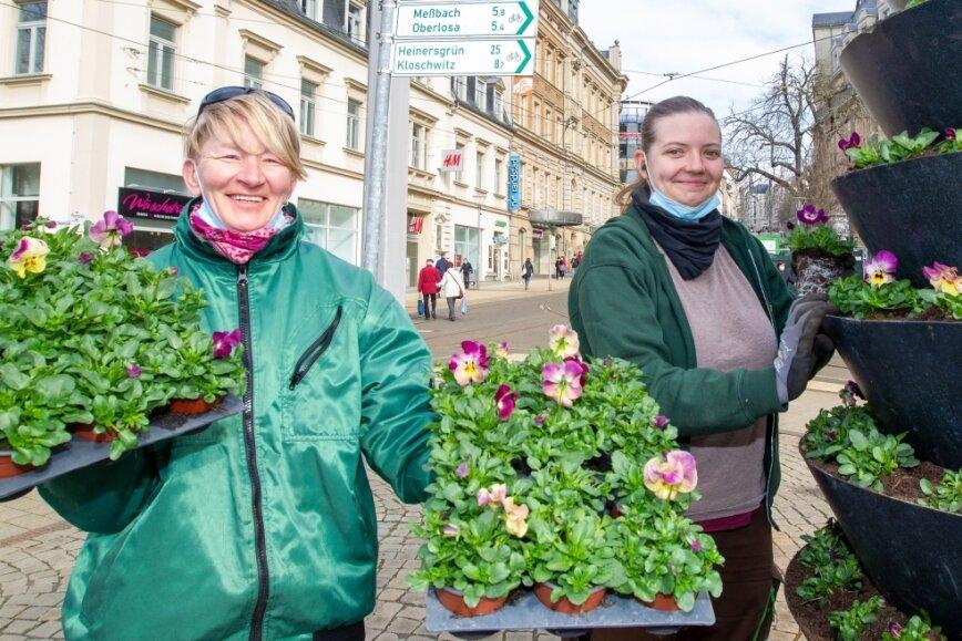 Plauen blüht auf: Hornveilchen für den Postplatz und gelber Teppich im Lutherpark