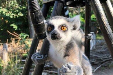 Mit diesem Katta-Plüschtier, ein Tierpark-Souvenir, haben Beteiligte an den TV-Aufnahmen diese witzige Interviewszene gestellt. Die Sendung mit dem Blick in den Tierpark Limbach-Oberfrohna war am Freitag im MDR zu sehen und ist in der Mediathek des Senders abrufbar.