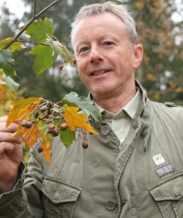 Forstamtsleiter Bert Schmieder ist mit der Entwicklung der Elsbeeren im Plauener Stadtwald zufrieden. Einige tragen sogar schon erste Früchte, die bei den Vögeln als Nahrung beliebt sind.