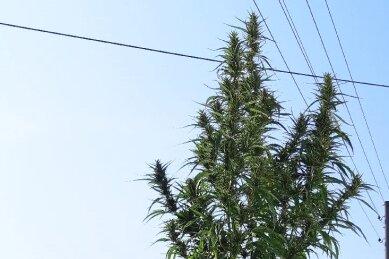 Vier Meter hohe Cannabispflanze: Polizei ermittelt gegen 79-Jährigen