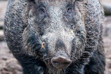 Wildschweine wühlen große Flächen um und stören teils auch den Bahnverkehr.