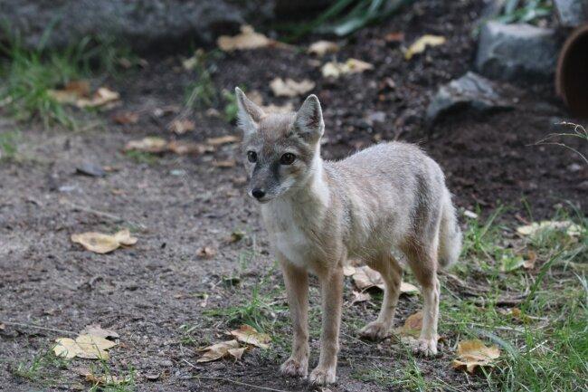 Fähe - der neue Steppenfuchs im Chemnitzer Tierpark.