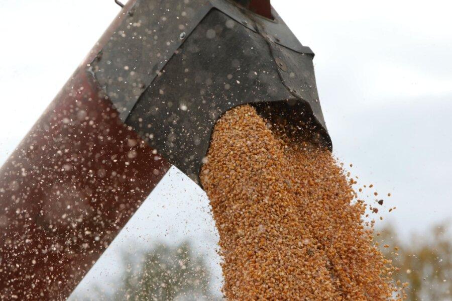80 Hektar Landwirtschaftsfläche liefern Körnermais für die Schweinemast
