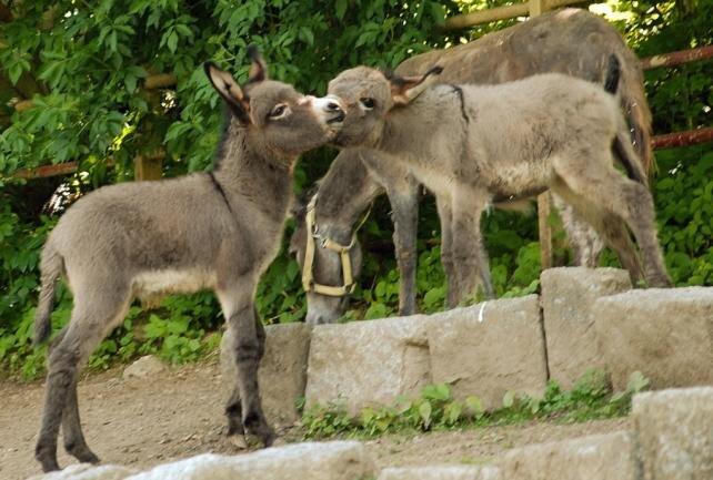Drei Esel ausgebüxt und wieder eingefangen