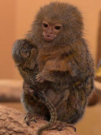 Eins der Jungtiere bei den Zwergseidenäffchen wird von der Mutter getragen.