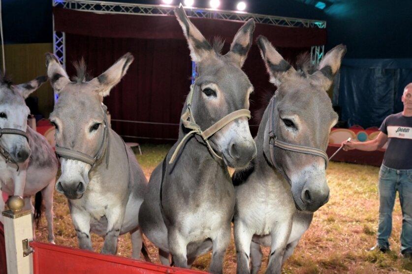 Manulito und seine Esel freuen sich in Lößnitz auf Zirkusbesucher
