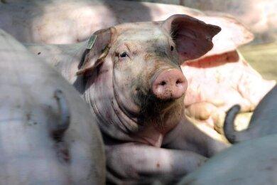 Der in Schöneck geplante Bau einer Schweinemastanlage für 150 Tiere ist gestoppt.