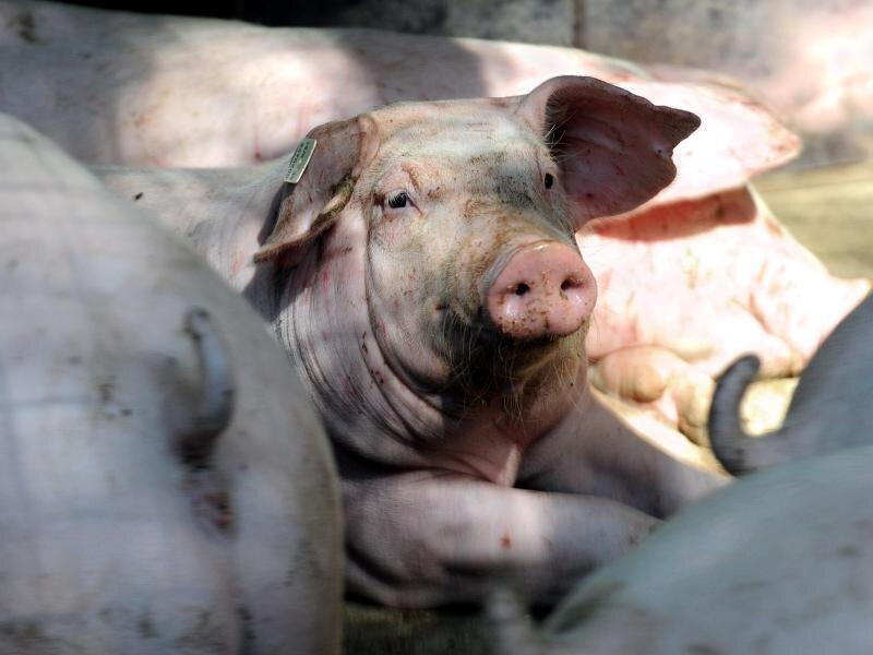 Drei Schweinemast-Betriebe aus Niedersachsen haben möglicherweise von Schadstoffen belastetes Futter erhalten.