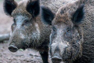 Wildschweine in einem Wildgatter. In freier Wildbahn ist es mitunter nicht so einfach, die klugen Tiere zu beobachten. Das kann auch die Jagd schwierig machen.