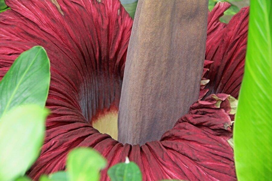 Eine Titanwurzblüte.
