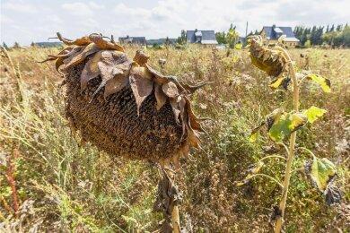 Stresstest für die Vegetation in Sachsen: Viele Pflanzen litten im Sommer 2020 an der Trockenheit. Besserung ist nicht in Sicht.