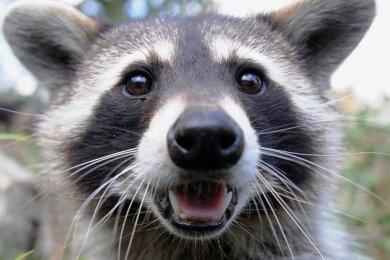 Das Landratsamt Mittelsachsen warnt davor, Waschbären wie Haustiere zu behandeln.