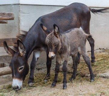 Im Auer Zoo der Minis ist ein kleiner Esel geboren worden.