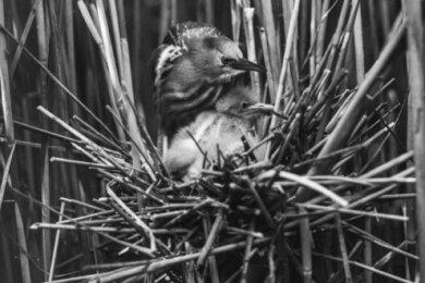 Ein Zwergdommel-Weibchen mit dem Nachwuchs im Nest. Um Fotos, wie das aus dem Jahr 1937 bei Königswartha, aufzunehmen, stand Zimmermann mit einer großen Plattenkamera oft stundenlang im Wasser.