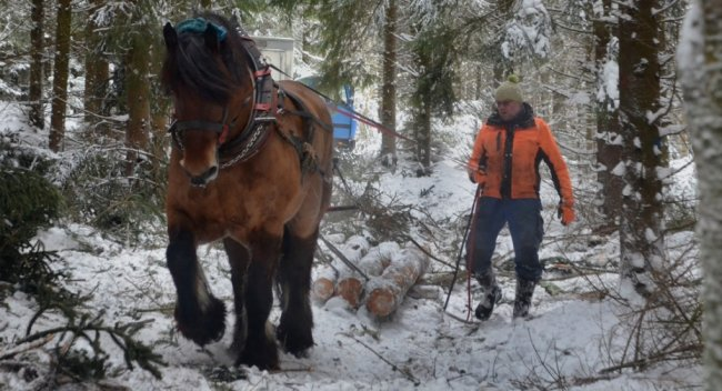 Fritz beim Holzrücken im Weißtannen-Bestand am Kuhberg bei Wernesgrün. Geführt wird das Belgische Kaltblut von Lukas Meinhold , der seit 20 Jahren mit Rückepferden arbeitet und die Tiere auch ausbildet.