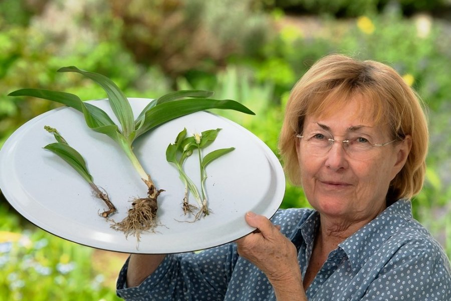 Im Garten von Leonie Thiel in Freiberg wachsen jetzt Maiglöckchen (links), Herbstzeitlose (Mitte) und Bärlauch (rechts). Zu unterscheiden sind sie vor allem am Stiel und der Blattform. Maiglöckchen und Bärlauch schieben bereits Blüten. Bei der Herbstzeitlosen ist es erst im Herbst soweit.