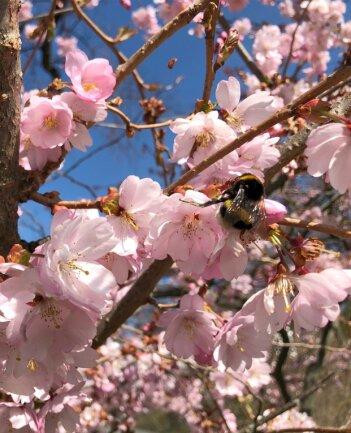 Das schreit nach Frühling: Eine Hummel bestäubt die Blüten eines Mandelbaums - hier in Rempesgrün. Doch noch sind die Temperaturen relativ kühl. Die Insekten sind gut dagegen geschützt.