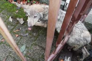 Der Wolfswelpe musste aus dem Zaun befreit werden.