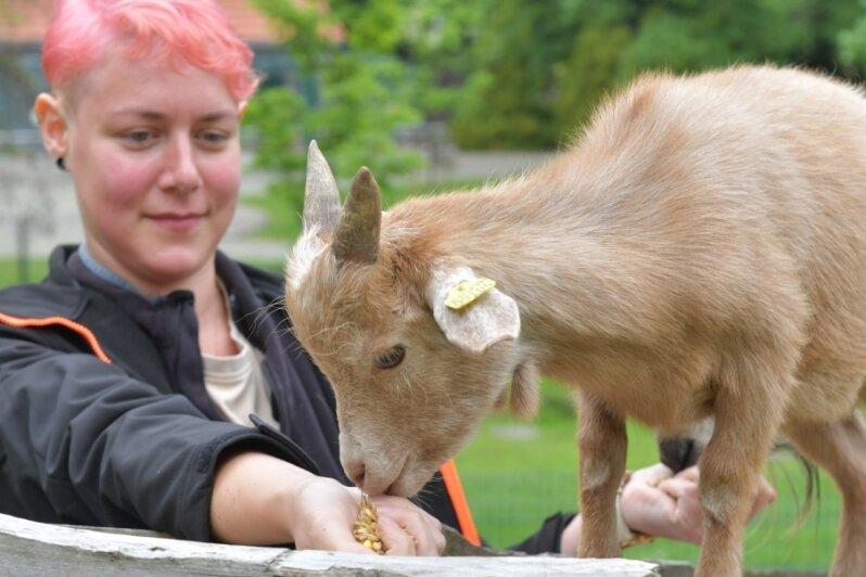 Im Freiberger Tierpark gibt es Nachwuchs - und ein neues Ziegenböcklein