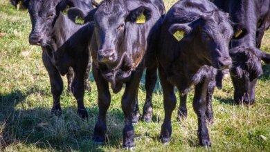 Die Memmendorfer Landwirte setzen für die Aktion auch auf ihre Weiderinder.
