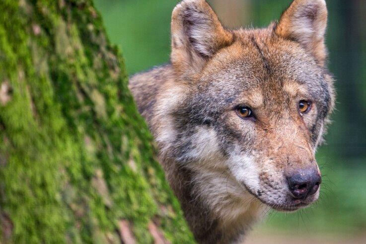 In Sachsen gab es zuletzt laut der Fachstelle Wolf 28 Rudel. Zu einem Rudel gehören meist fünf bis sechs Tiere.