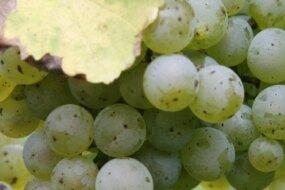 Aus Chardonnay-Trauben machen auch sächsische Winzer exzellente Tropfen.