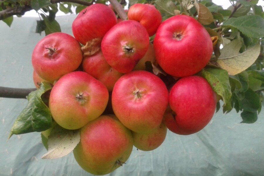 Obstbauverein lädt zu Waldkirchener Apfeltagen ein