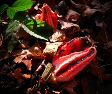 Das rote Gebilde - ein seltener Tintenfischpilz - lugt im Laub des Waldes hervor. Ursprünglich stammt der Pilz aus Übersee.