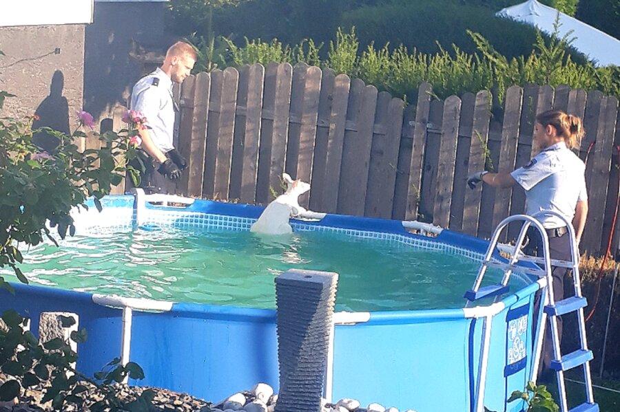Der Fluchtversuch des Kängurus endete im Pool.