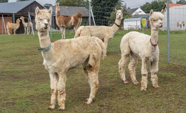 Die Neuankömmlinge auf dem Hof der Eselsbrücke Röthenbach: Einauge (blaues Halsband), Daisy (braun) und Navidad (rot). Die drei Alpakas mit Handicap kamen vorige Woche aus Ungarn ins Vogtland.