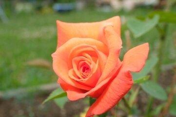 Zier- oder Nutzpflanze? Die Rose kann beides sein.