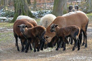 Auch die Kamerunschafe im Tierpark Hirschfeld werden von der Erbschaft profitieren, denn von dem Geld soll Futter gekauft werden.