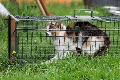 Im oberen Vogtland wurde eine Kolonie mit 26 verwilderte Hauskatzen entdeckt. Die Tiere wurden mithilfe von Lebendfallen eingefangen und im Tierheim Kandelhof untergebracht.