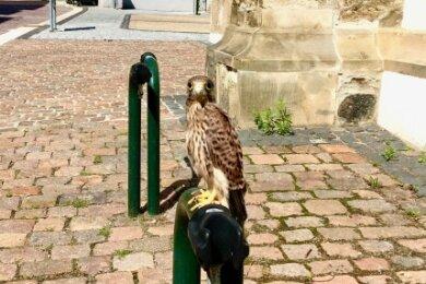 Ein hilfloser und verängstigter Jungvogel ist am Sonntagvormittag an der Nikolaikirche herumgehüpft.