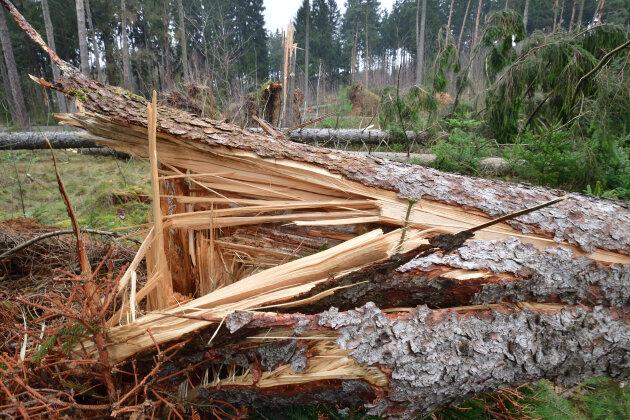 """Im Zellwald bei Freiberg hat """"Friederike"""" zahlreiche Bäume umgeworfen. Auch hier sind derzeit noch Wege gesperrt."""