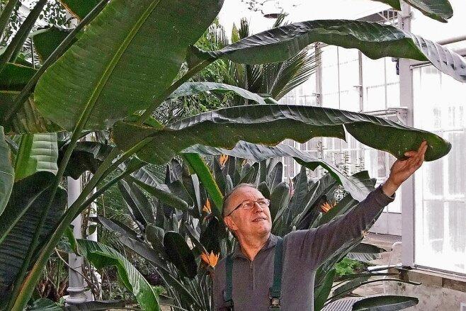 Da blüht der Baum: Was Gartenmeister Wolfgang Friebel hier hochhält, ist ein einzelnes Blatt der Natal- oder Baum-Strelitzie. Die in Südafrika heimische Zierpflanze wächst bis zu zwölf Meter hoch. Im Palmenhaus von Schloss Pillnitz hat diese Strelizie schon das Glasdach erreicht.