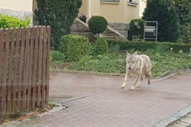 Dieses Tier, mit großer Wahrscheinlichkeit ein junger Wolf, wurde am Ostermontag in Crimmitschau gesehen.
