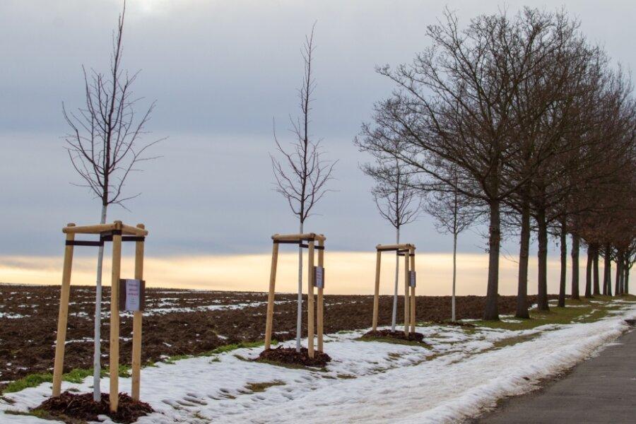 Weg zur Linde zwischen Plauen und Thiergarten: Mehrfach sind im unteren Teil Linden gepflanzt worden. Immer wieder wurden einige dieser Bäume in ihrem Wachstum gebremst. Die geschwächten Linden gingen ein, der Boden wurde ausgetauscht und neue Bäume gepflanzt.