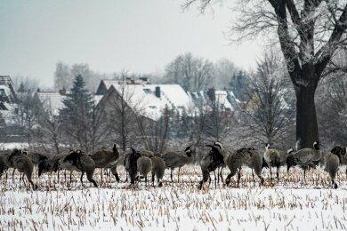 Kraniche im Biosphärenreservat. Von den Tieren, die hier überwintern, bleiben später auch viele zum Brüten.
