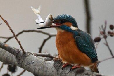Dieser Schnappschuss eines Eisvogels gelang Leserin Anja Martin am Zwickauer Schwanenteich.