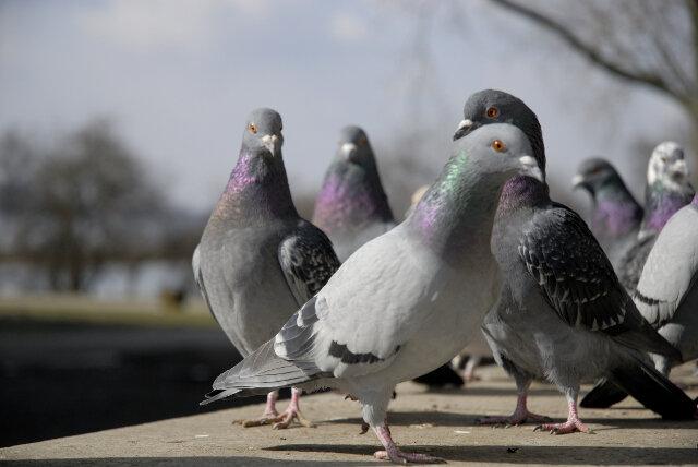 Tauben sind nicht bei jedermann beliebt. In Chemnitz dürfen sie vorerst weiter im Johanniskarree flattern.