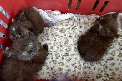 Diese drei schwarzen Katzenbabys wurden in der Nähe des Obstgutes Seelitz gefunden. Von einer Tierfreundin werden sie derzeit versorgt.