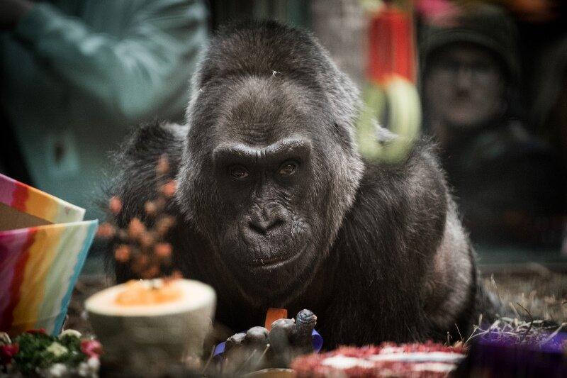 Gorilla Colo, aufgenommen am 23.12.2016 im Zoo von Ohio in Columbus (USA) bei seinem 60. Geburtstag.
