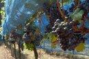 Hier hängen Portugieser-Trauben in einem Weinberg in Meißen. Inzwischen sind sie abgeerntet.