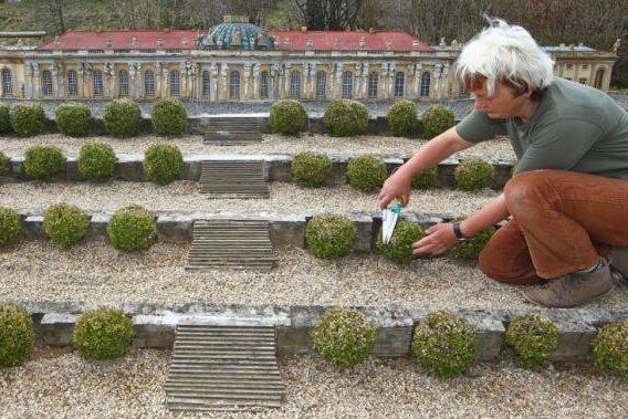 Eine Miniwelt-Mitarbeiterin pflegt die Bäumchen am Schloss Sanssouci.