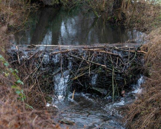 Am Frelsbach haben Biber in der Nähe der Kläranlage deutliche Spuren hinterlassen. Durch den geschätzt zwei Meter hohen Damm ist das Gewässer angeschwollen.