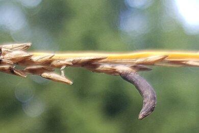 Mutterkorn auf Pfeifengras, das in Mooren wächst.