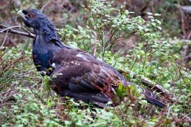 Dieses Foto entstand im Thüringer Wald, wo es ein Auswilderungsprogramm für das Auerwild gibt.